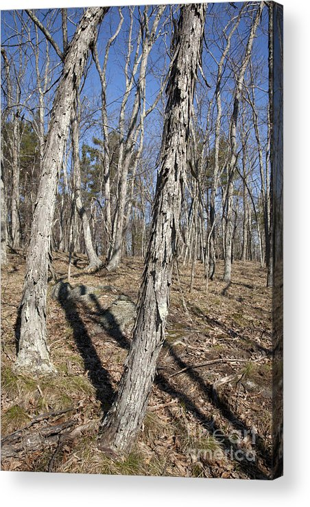 Forest Acrylic Print featuring the photograph Shagbark Hickory Forest by Erin Paul Donovan
