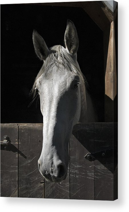 Horse Acrylic Print featuring the photograph Silver by Jack Goldberg