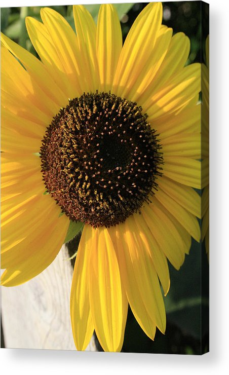 Flowers Acrylic Print featuring the photograph Son Of A Sun by Alan Rutherford