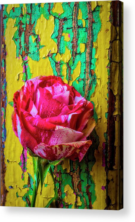 Chaim Soutime Roses Acrylic Print featuring the photograph Soutime Rose Against Cracked Wall by Garry Gay