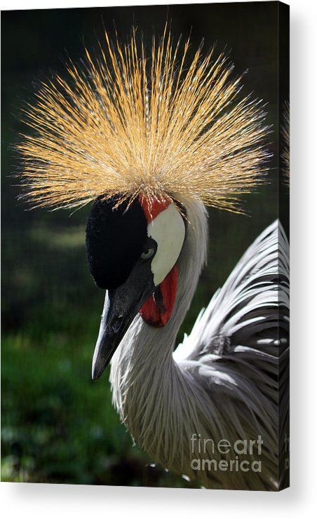 Spiked Crane Acrylic Print featuring the photograph Spiked Crane by Jennifer Robin