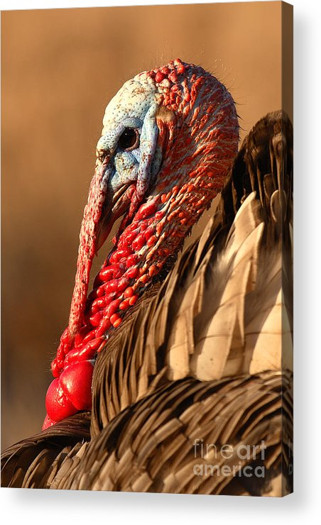 Turkey Acrylic Print featuring the photograph Spring Portrait Of Wild Turkey Tom by Max Allen