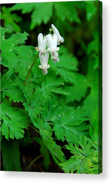 Wildflower Acrylic Print featuring the photograph Squirrel Corn by Alan Lenk