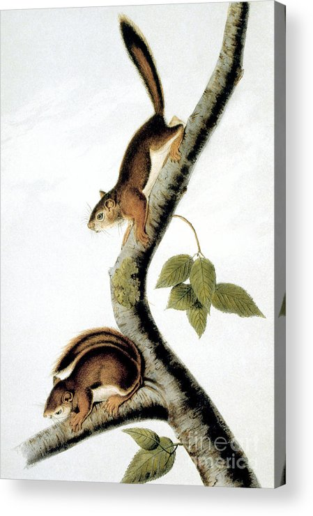 1846 Acrylic Print featuring the photograph Squirrel by Granger