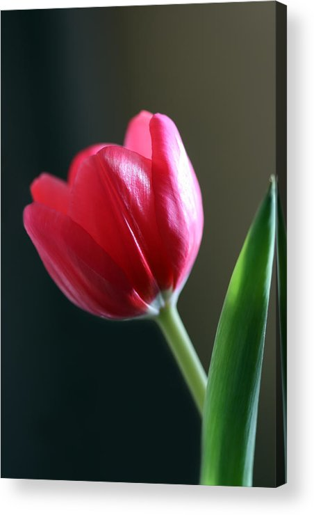 Tulip Acrylic Print featuring the photograph Sun Kissed Tulip I by Lesley Smitheringale