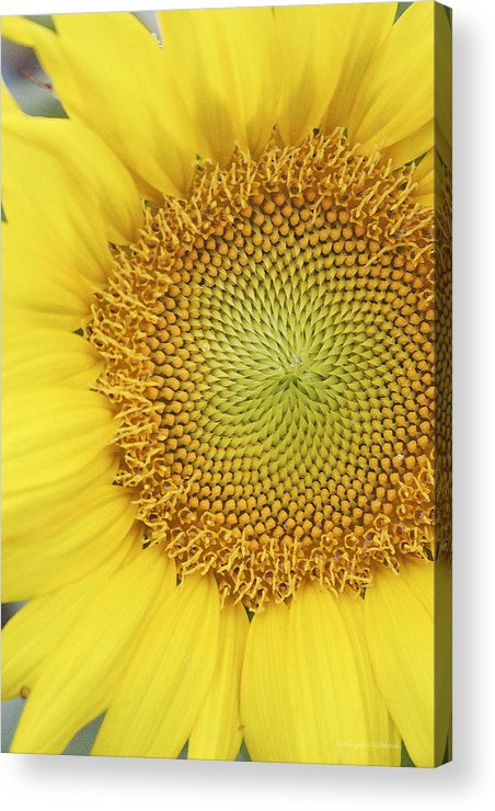 Sunflower Acrylic Print featuring the photograph Sunflower by Margie Wildblood
