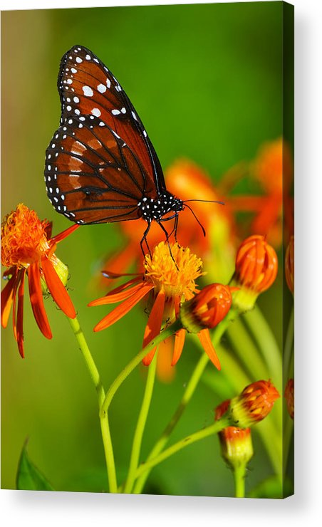 Butterfly Acrylic Print featuring the photograph The Soldier by Melanie Moraga