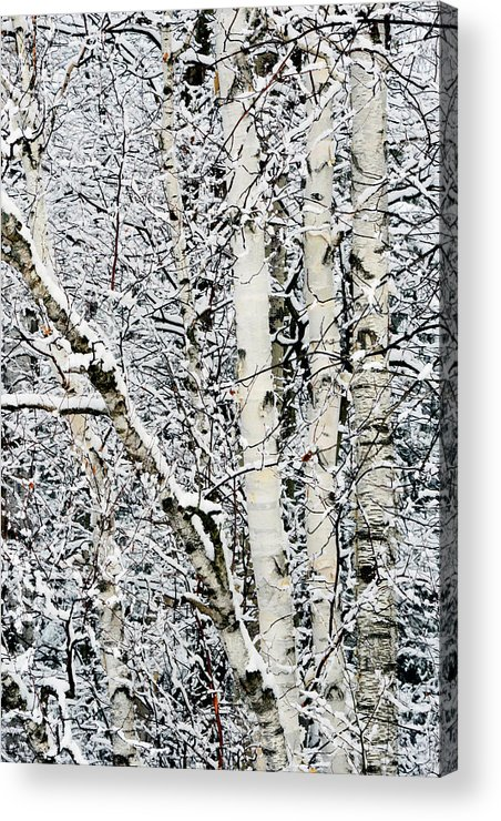 Birch Trees Acrylic Print featuring the photograph Three Amigos by Bryan Shane