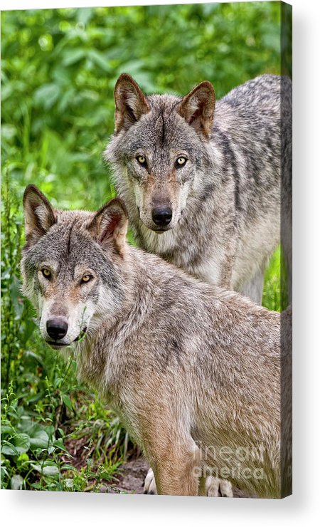 Michael Cummings Acrylic Print featuring the photograph Timber Wolf Pair by Michael Cummings