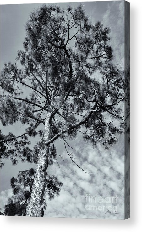 Tree Acrylic Print featuring the photograph Towering by Linda Lees
