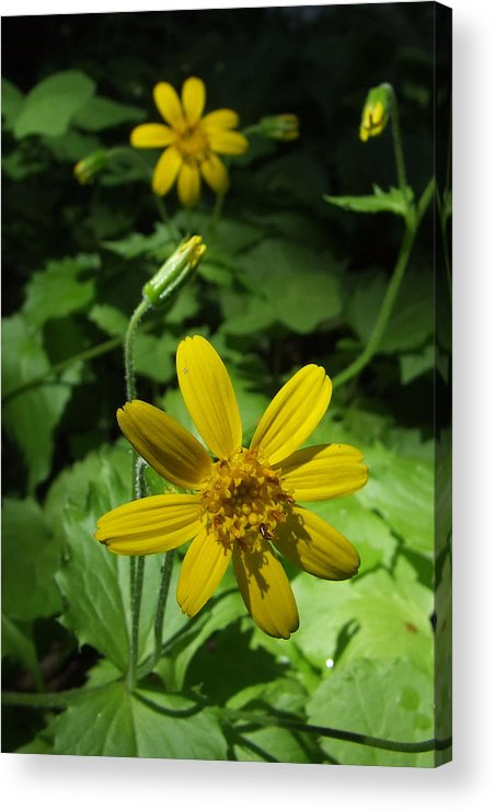 Arnica Acrylic Print featuring the photograph Trillium Lake Dream by Everett Bowers
