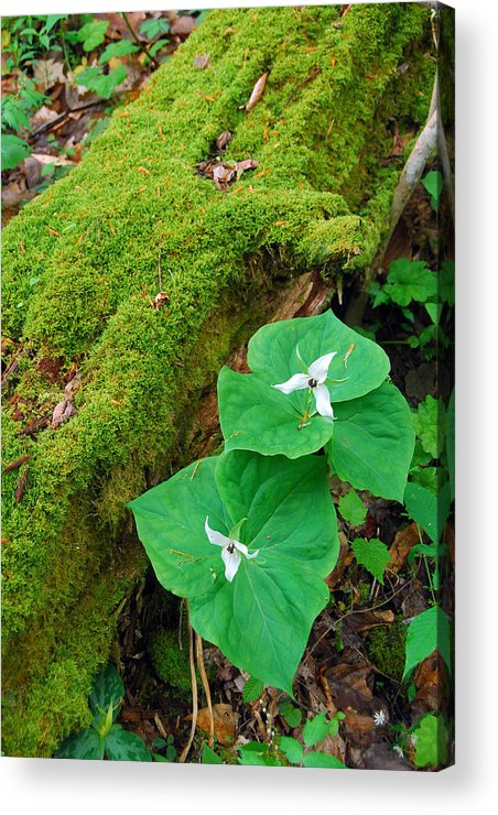 Trillium Acrylic Print featuring the photograph Trillium Pair By Mossy Log by Alan Lenk