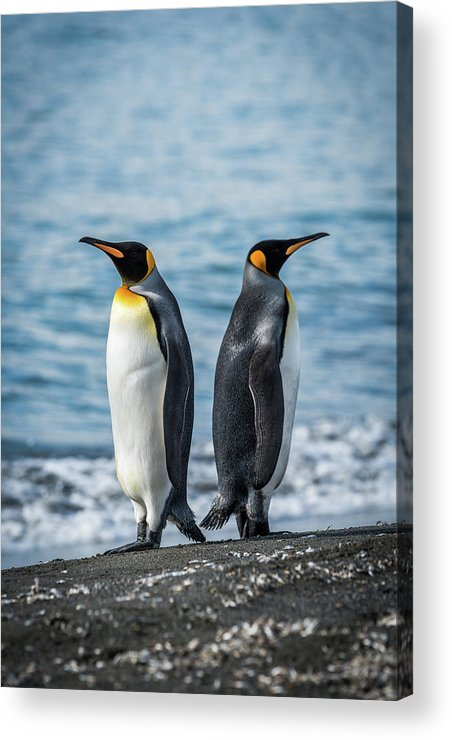 Aptenodytes Patagonicus Acrylic Print featuring the photograph Two King Penguins Facing In Opposite Directions by Ndp