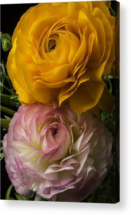 Pink Acrylic Print featuring the photograph Two Ranunculus by Garry Gay
