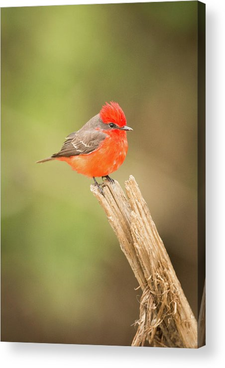Brazil Acrylic Print featuring the photograph Vermilion Flycatcher Facing Camera On Tree Stump by Ndp