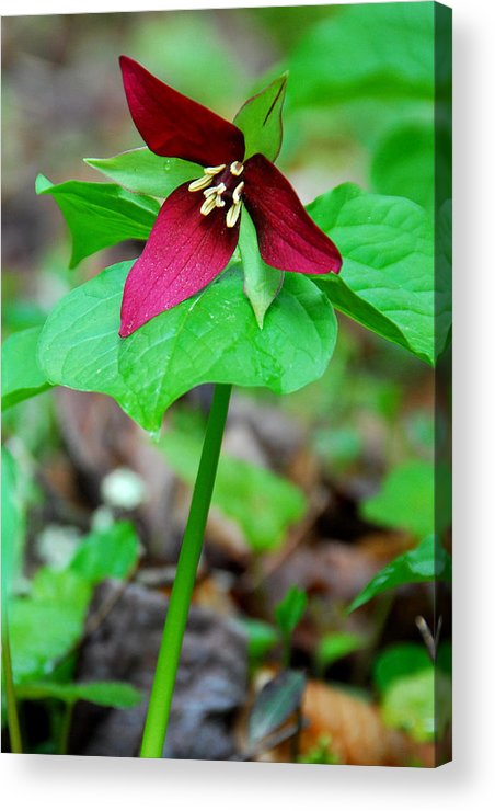 Wake Robin Acrylic Print featuring the photograph Wake Robin Trillium by Alan Lenk