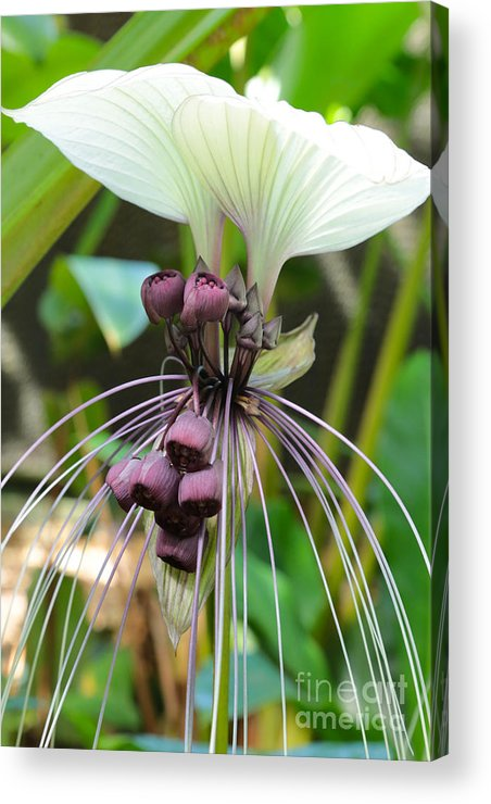 White Bat Flower Acrylic Print By Carol Groenen