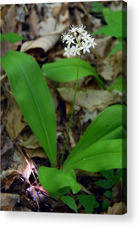 White Clintonia Acrylic Print featuring the photograph White Clintonia by Alan Lenk