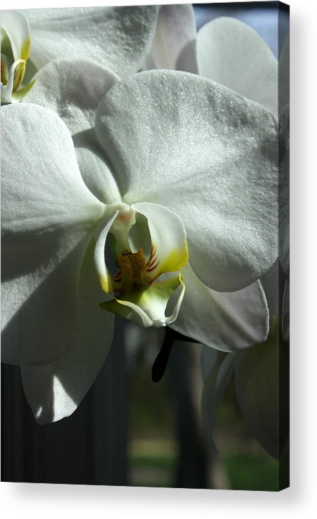 White Orchid Acrylic Print featuring the photograph White Orchid In Spring by David Bearden