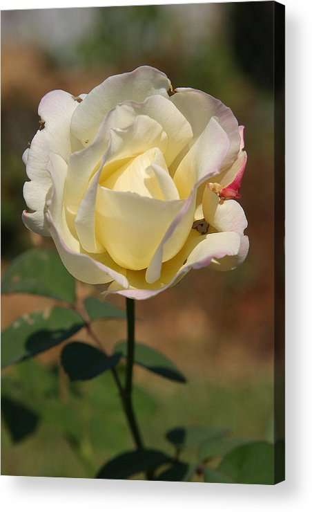 Rose Acrylic Print featuring the photograph White Rose by Donald Tusa