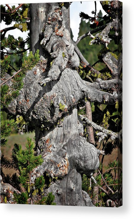 Pines Acrylic Print featuring the photograph Whitebark Pine Tree - Iconic Endangered Keystone Species by Christine Till