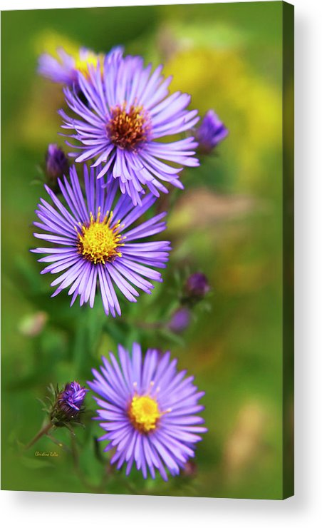 Wildflower Acrylic Print featuring the photograph Wild Aster Trio by Christina Rollo