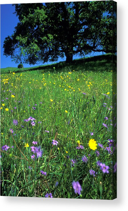Wildflowers Acrylic Print featuring the photograph Wildflowers And The Oak by Kathy Yates