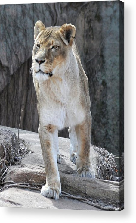Lion Acrylic Print featuring the photograph With Majesty by Jennifer Englehardt