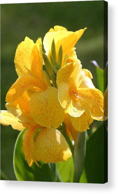 Indian Shot Acrylic Print featuring the photograph Yellow Canna Indica by Mark Mah