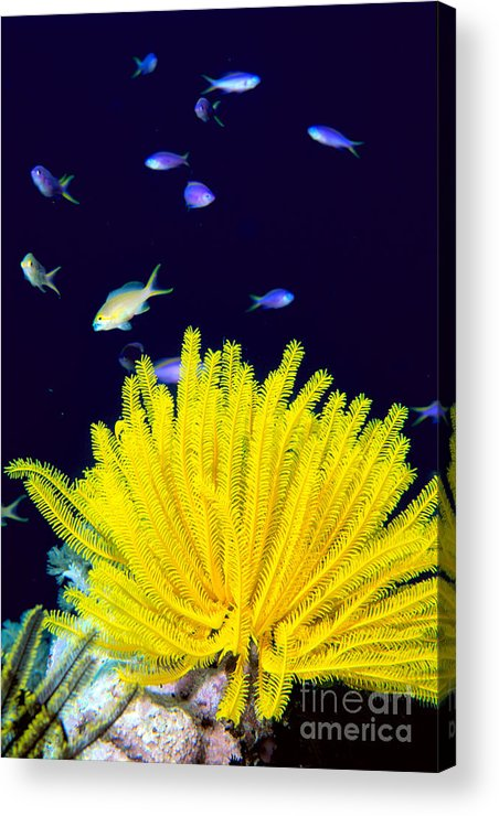 C1943 Acrylic Print featuring the photograph Yellow Feather Star by Ed Robinson - Printscapes