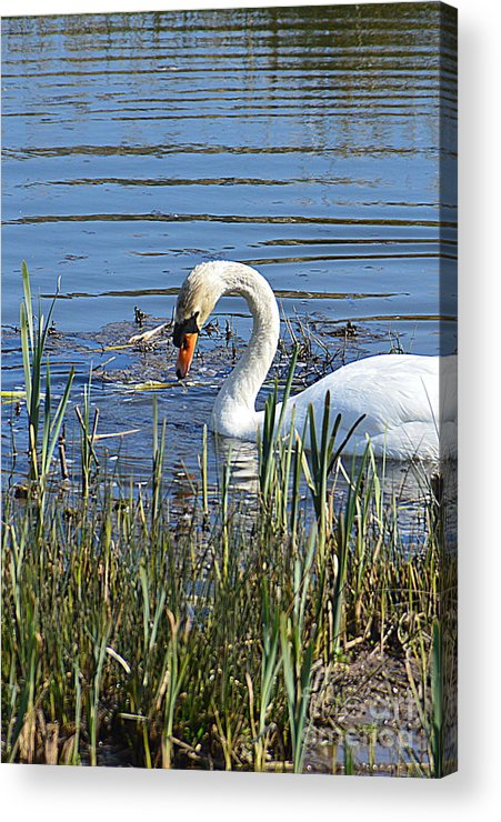 Swan Acrylic Print featuring the photograph Swan by Andy Thompson