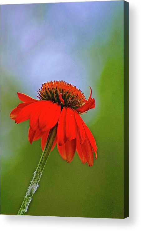 Lone Flower In Field Acrylic Print featuring the photograph Flower by Gillis Cone