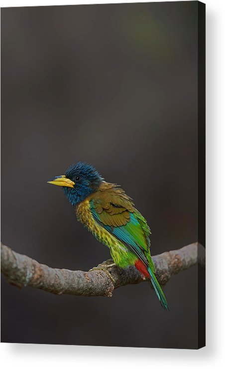 Bird Images For Print Acrylic Print featuring the photograph Great Barbet by Uma Ganesh