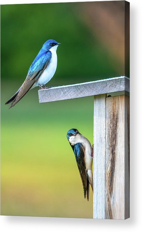 Swallow Acrylic Print featuring the photograph Happy Home by Brad Bellisle