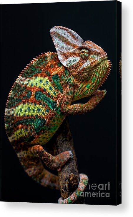Small Acrylic Print featuring the photograph Yemen Chameleon by Arturasker