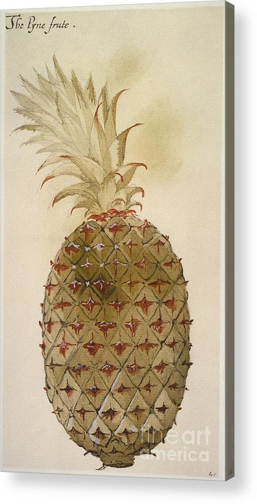 1585 Acrylic Print featuring the photograph Botany: Pineapple, 1585 by Granger