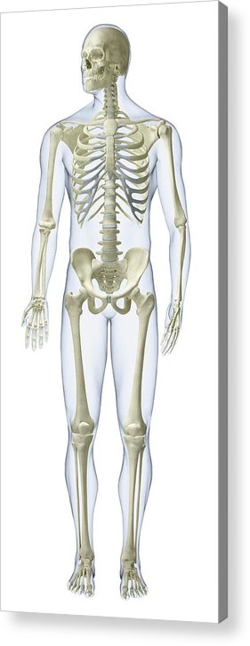 Anatomical Model Acrylic Print featuring the photograph Human Skeleton by Dorling Kindersley/uig
