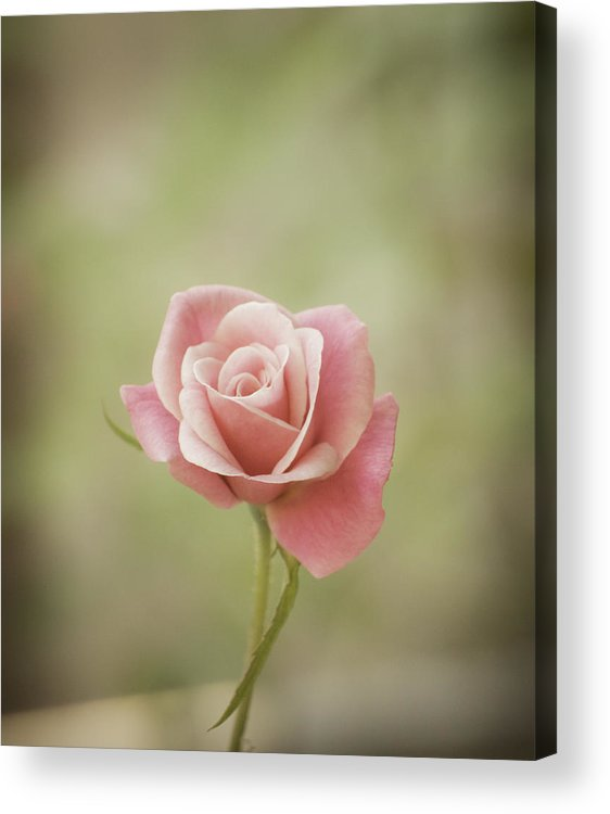Pink Rose Acrylic Print featuring the photograph Baby Pink by Holly Groves