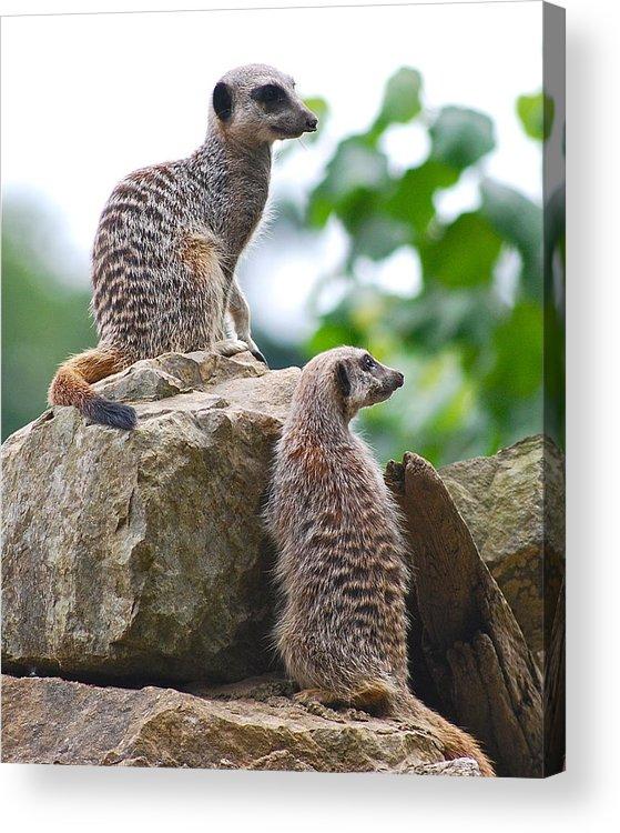 Meerkat Animal Mammal Pair Two Cute Looking Acrylic Print featuring the photograph Meerkats by Louise Morgan