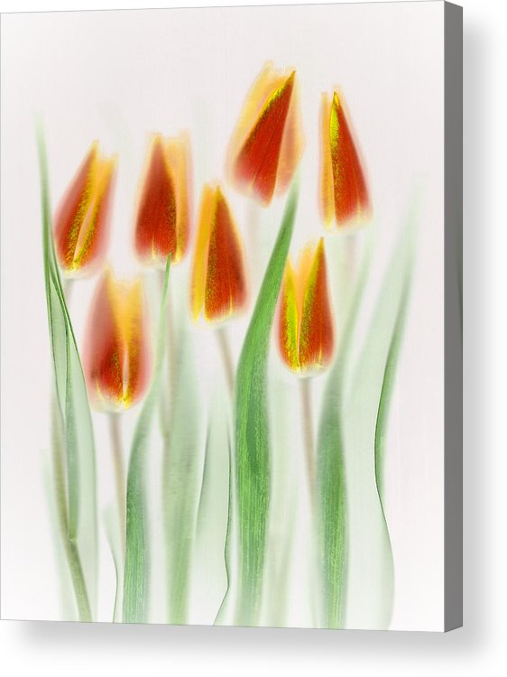 Tulips Acrylic Print featuring the photograph Red And Yellow Tulips by Brian Haslam