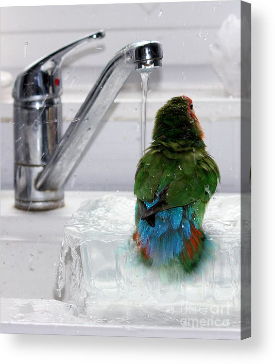 Bird Acrylic Print featuring the photograph The Lovebird's Shower by Terri Waters