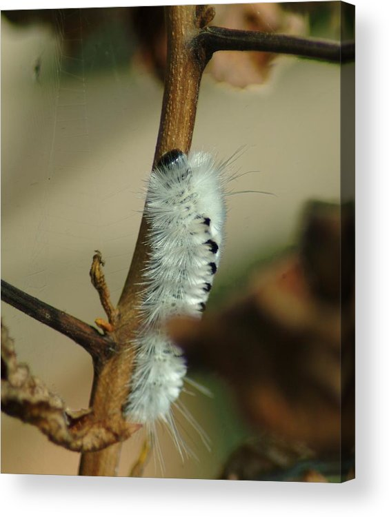 Caterpillar Acrylic Print featuring the photograph 091409-205 by Mike Davis