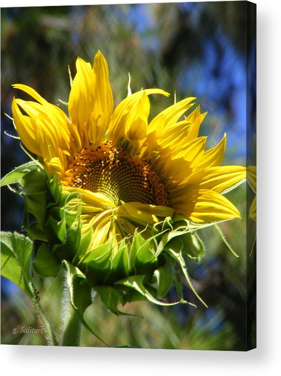Sunflower Acrylic Print featuring the photograph Bashfull by Gail Salitui