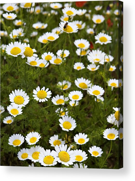 Daisy Acrylic Print featuring the photograph Dozens Of Daisies by Marilyn Hunt