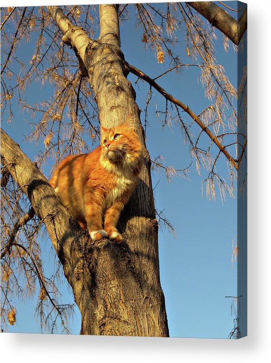 Cat Acrylic Print featuring the photograph Like The Big Boys by ShaddowCat Arts - Sherry