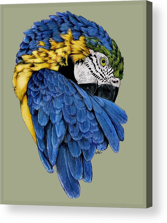 Parrot Acrylic Print featuring the drawing Macaw by Crystal Rolfe