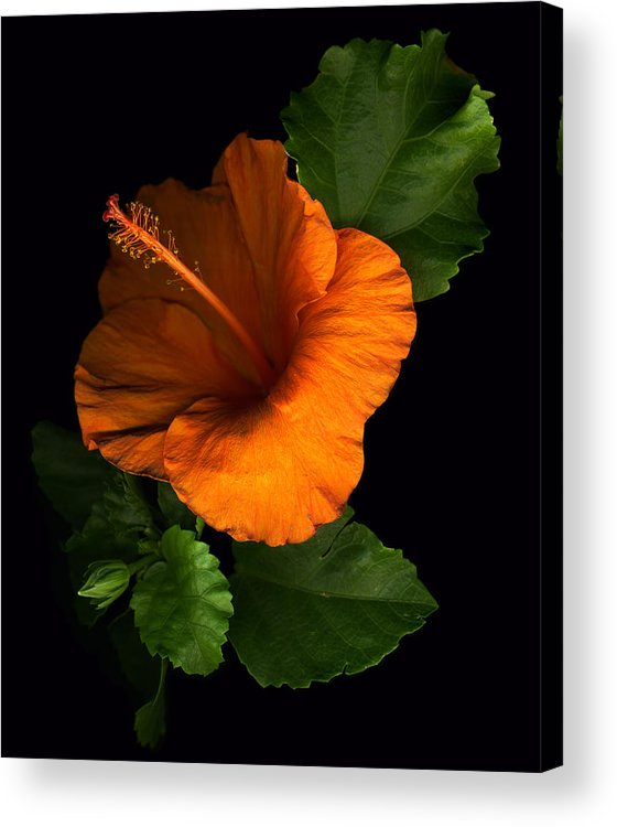 Hibiscus Acrylic Print featuring the photograph Outrageous Orange by Deborah J Humphries