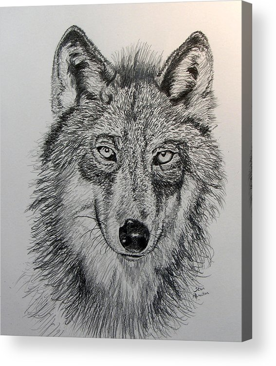Original Drawing Acrylic Print featuring the drawing Timber Wolf by Stan Hamilton