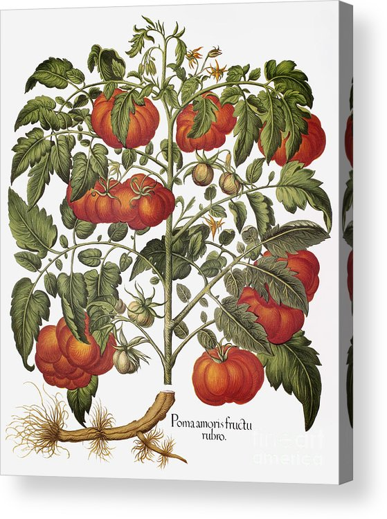 1613 Acrylic Print featuring the photograph Tomato, 1613 by Granger