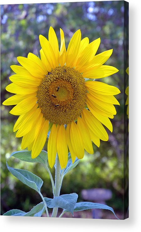 Sun .flower Acrylic Print featuring the photograph Sunflower 1 by Mickie Boothroyd